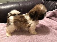 Gorgeous Shih Tzu for sale.