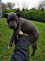 Cute Stadfordshire Terrier Available.